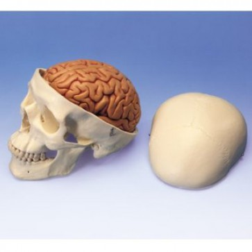 Schedel met hersenen 8-delig