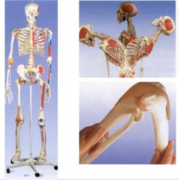 Super skelet met spieraanhechtingen op verrijdbaar statief.