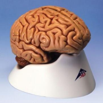 Hersenen 5-delig + standaard