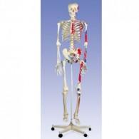 Skelet met spieraanhechtingen op verrijdbaar statief.