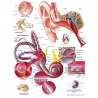 Anatomische poster (kies hieronder het gewenste type)
